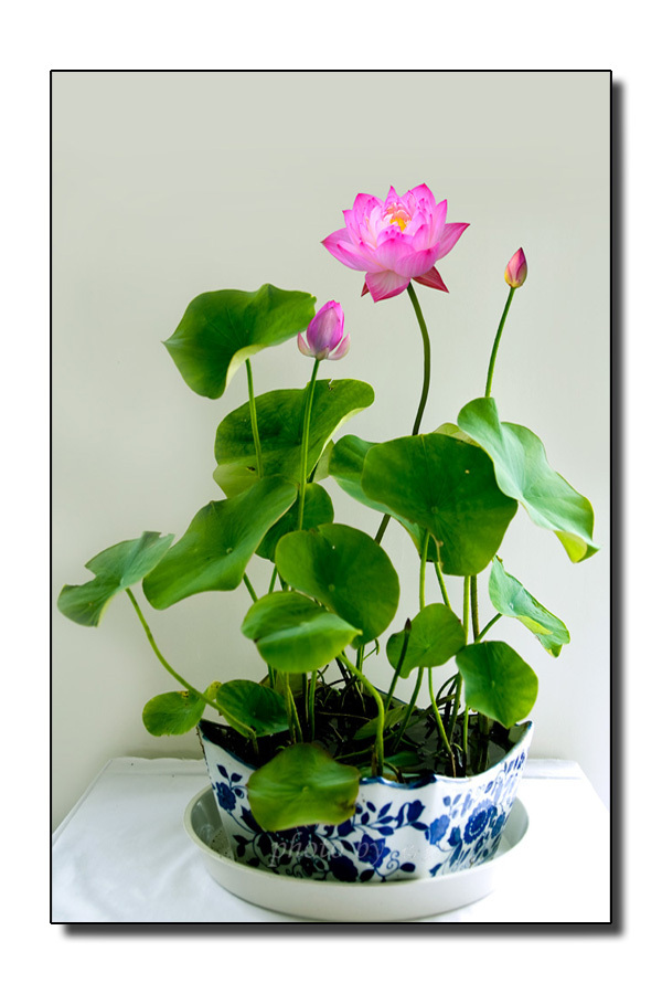 2019 Mix Mini 5 Perennial Flowers Seeds Many Colors Lotus Seeds