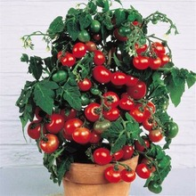 Bonsai Tomato seeds Mini Cherry Potted Sweet Fruit Vegetable Organic Fresh 20 seeds/pack