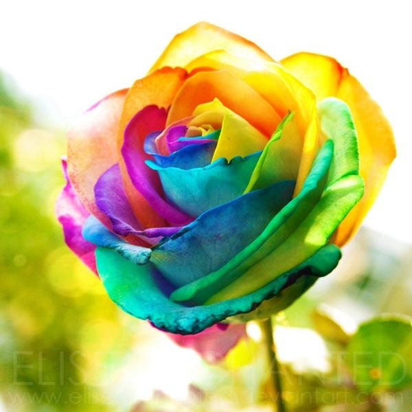 Free-Shipping-20-Rainbow-Rose-Bush-Seeds-fragrant-Attract ...