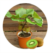 10pcs Kiwi fruit seeds,Potted plants,MIN tree Nutrition is rich, beautiful,Bonsai,Vegetable melon seeds