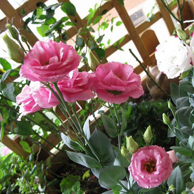 online kaufen gro handel lisianthus pflanzen aus china lisianthus pflanzen gro h ndler. Black Bedroom Furniture Sets. Home Design Ideas