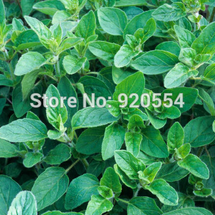 marjolaine plantes promotion achetez des marjolaine plantes promotionnels sur. Black Bedroom Furniture Sets. Home Design Ideas