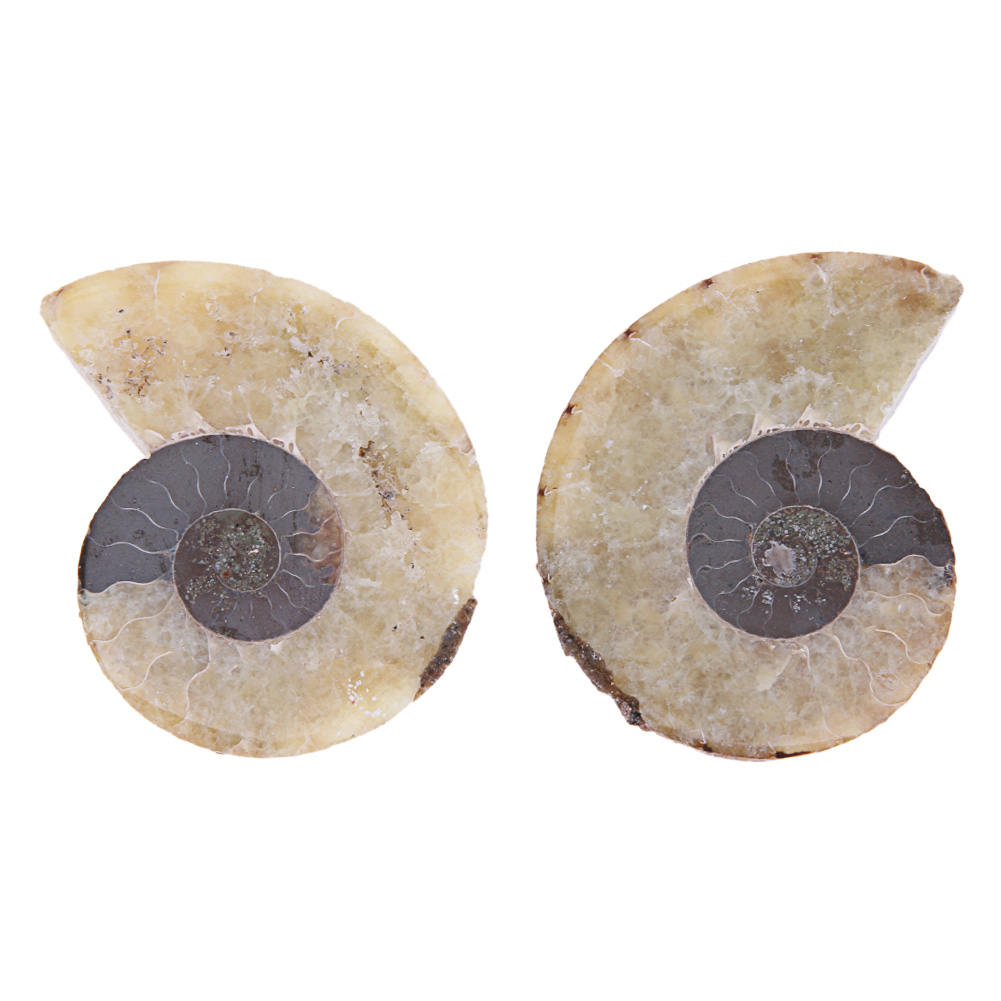 198ad74cfb3270 2pcs 40-80g Natural Conch Shell Fossil Mineral Specimen Stone DIY ...