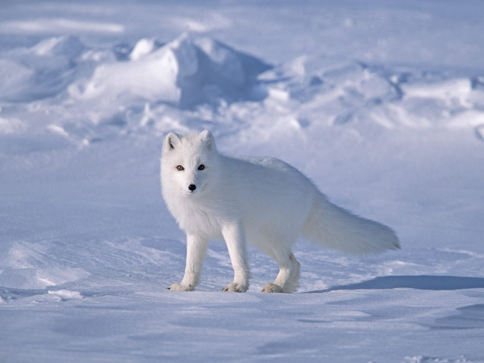 ARCTIC white fur FOX foxes sonw winter Home Decoration Canvas Poster