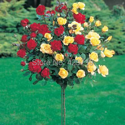 Online Buy Wholesale tree rose from China tree rose