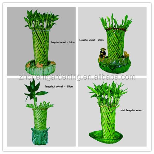 fengshui roue chanceux bambou air bonsa dracaena sanderiana ornementale d 39 int rieur aquatiques. Black Bedroom Furniture Sets. Home Design Ideas
