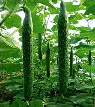 Free shipping Hot selling 100 pcs Of Cucumber,Cuke Seeds,Green Vegetable Seeds