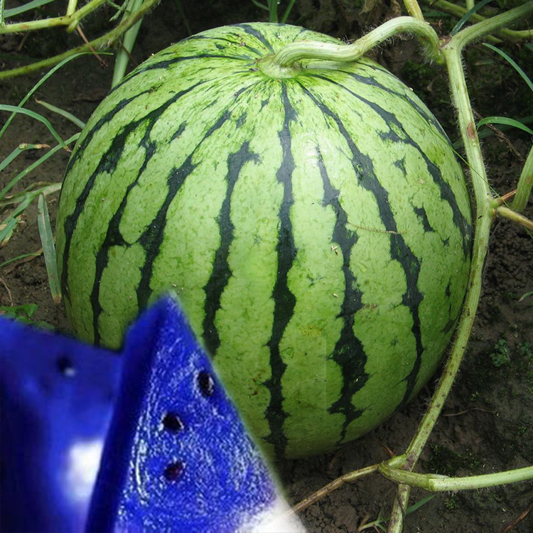 Best Selling 50 Seeds Blue Flesh Watermelon Bonsai Plants ...