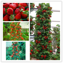 00 500 PCS / bag  Red Climbing Strawberry Seeds Fruit Seeds For Home & Garden DIY Indoor rare seeds for bonsai Free Shipping