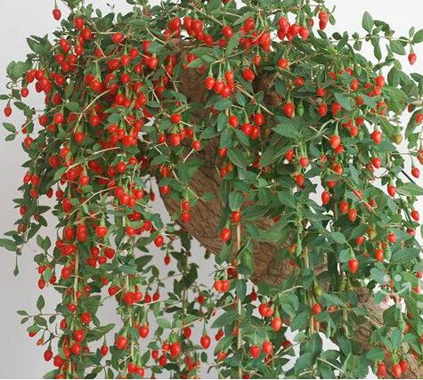 online kaufen gro handel fresh goji berries aus china fresh goji berries gro h ndler. Black Bedroom Furniture Sets. Home Design Ideas