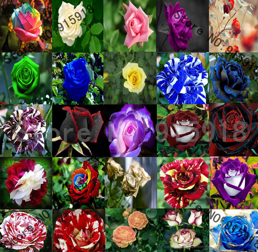Online Buy Wholesale rainbow rose plant from China rainbow ...