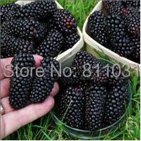 20 Seeds / Pack, Black Mulberry Seeds Morus Nigra Tree Garden Bush Seed DIY  home garden free shipping