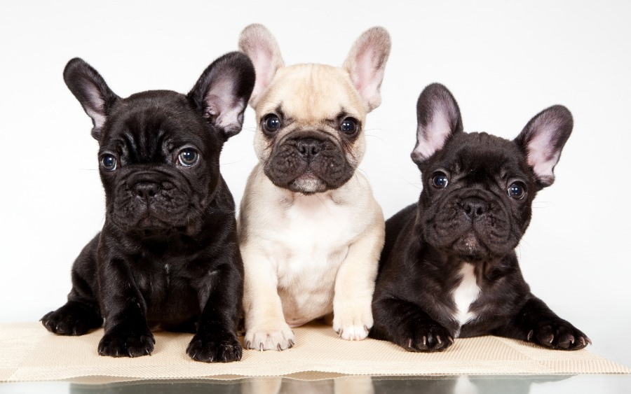 Free shipping Living room bedroom home wall decoration fabric poster animal photograph puppies trio French bulldog
