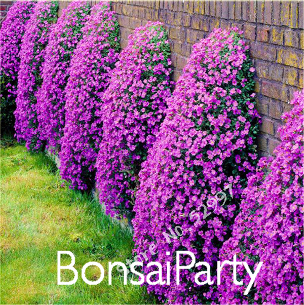 Rock Cress, 100 Pcs/Lot Aubrieta Cascade Purple Flower