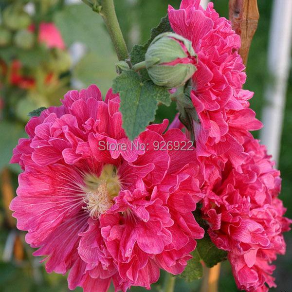 fleurs en pot graines althaea rosea graines de rose. Black Bedroom Furniture Sets. Home Design Ideas