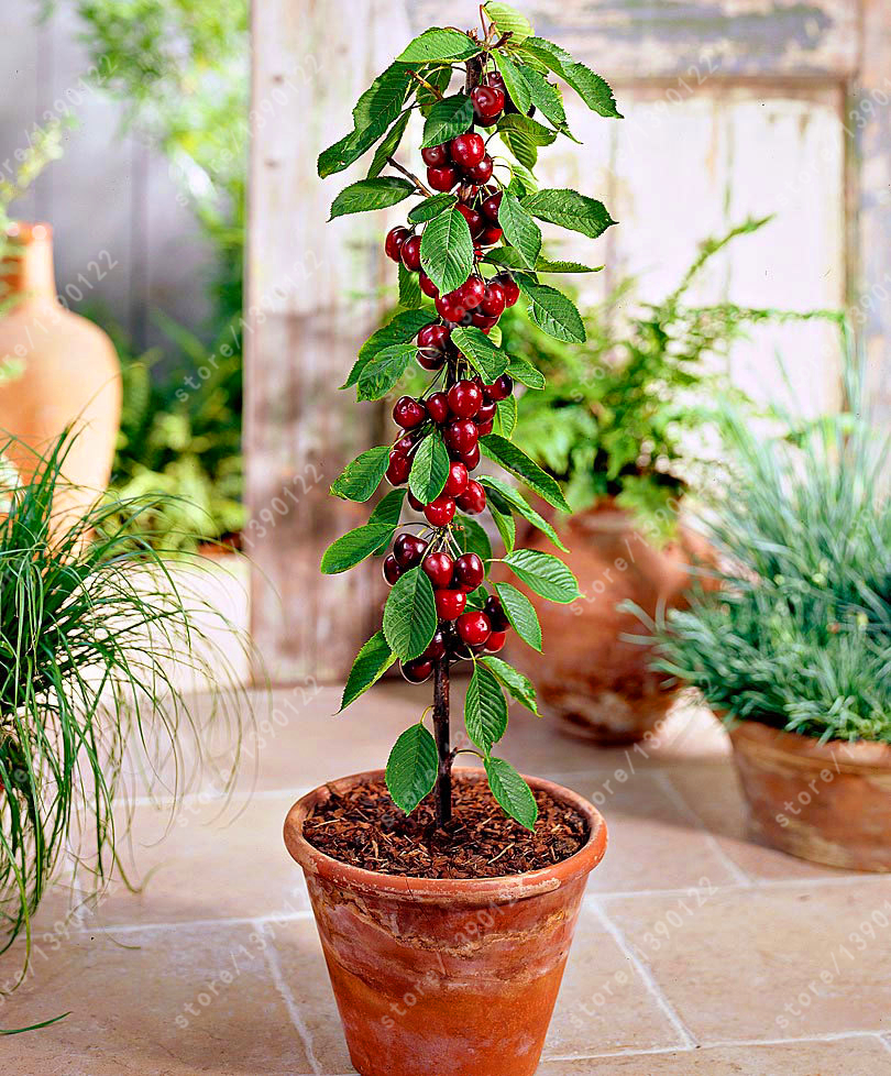Achetez en gros bonsa graines arbres fruitiers en ligne for Alberelli ornamentali