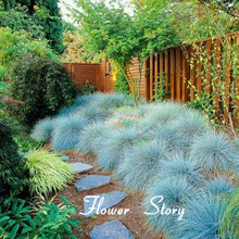 100  Blue Fescue Grass Seeds – (Festuca glauca) perennial hardy ornamental grass  so easy to grow