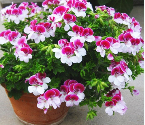 Two color red white univalve geranium seeds perennial flower seeds pelargonium peltatum seeds for indoor rooms