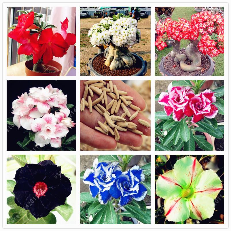 2pcs Bag Desert Rose ᗔ Seeds Adenium Seeds Adenium Obesum