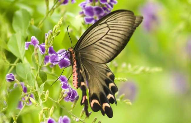 蝴蝶是怎么变成的 毛毛虫变蝴蝶的过程